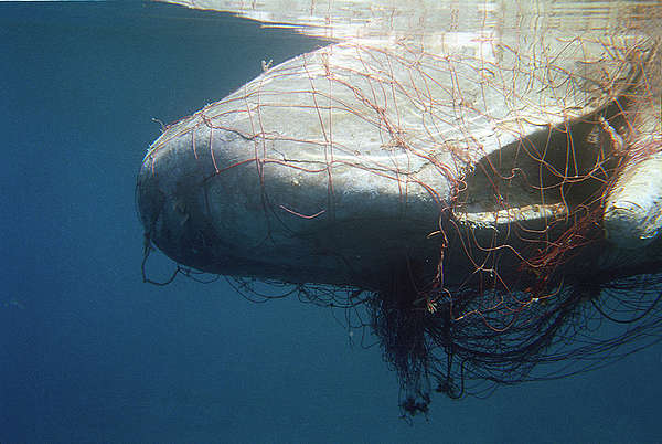 sperm whale killed by driftnets, ghost fishing gear, ghost fishing nets, plastic fishing gear, plastic in the oceans