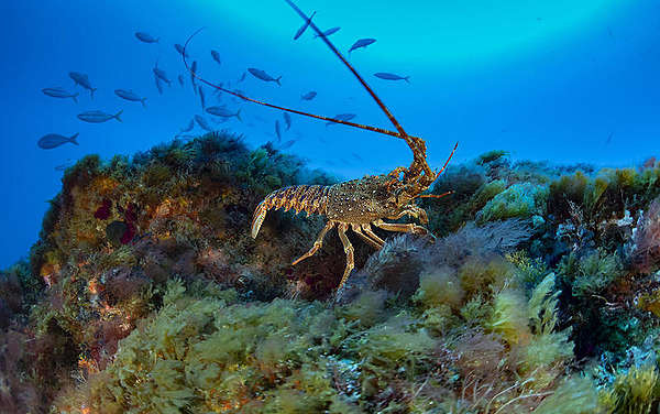 Life on seamounts, ghost fishing, rock lobster on seamount