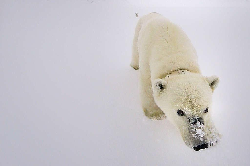 Polar bear Zoom background image   © Will Rose / Greenpeace