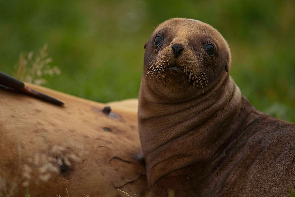 Sea Lion Pup in New Zealand. © Greenpeace / Dave Hansford