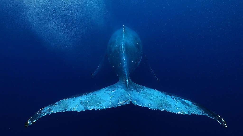Whale tail Zoom background image © Paul Hilton / Greenpeace