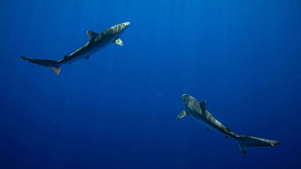 Silky sharks circle a recently placed FAD (fish aggregating device)  in international waters in the Indian Ocean. The marine snare was left by a vessel supplying Thai Union. A Greenpeace team recovered the FAD and took it back to the Esperanza for dismantling. © Will Rose / Greenpeace