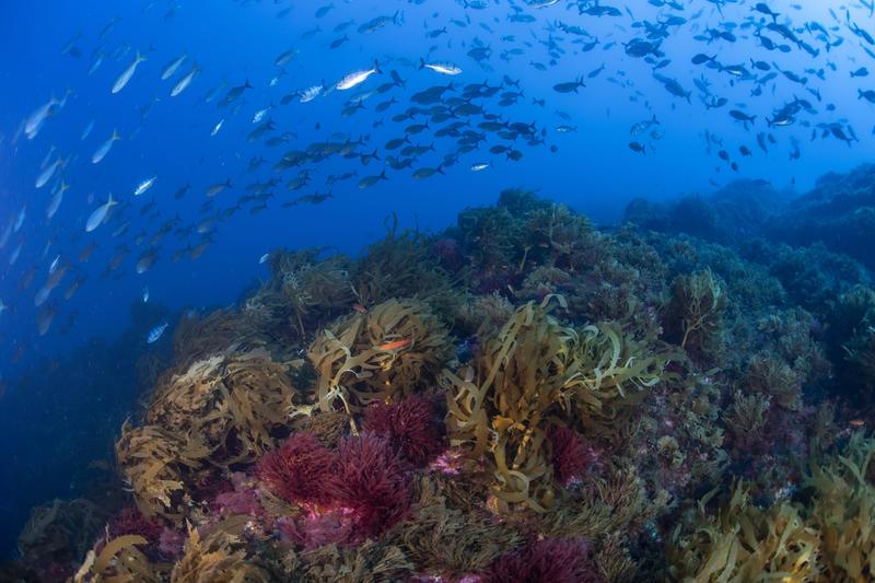 Black seabream, yellow amberkacks, Mount Vema seamount, Seamount biodiversity, Greenpeace, Greenpeace pole to pole, Bottom trawling on seamounts