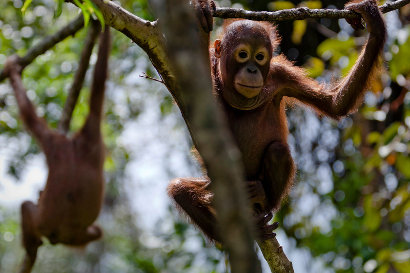 Baby orangutan at Orangutan Foundation International Care Center in Pangkalan Bun, Central Kalimantan. Expansion of oil palm plantations is destroying their forest habitat.