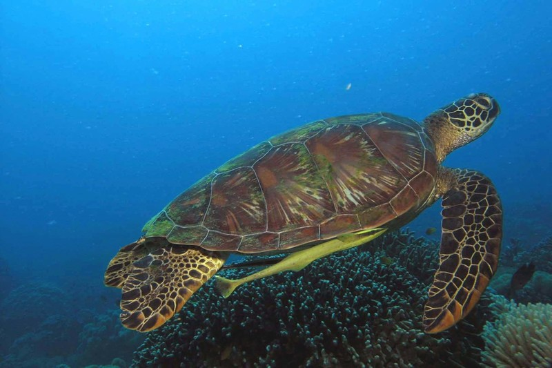 Sea turtles used to be a rare sight in the waters of Apo Island. Since it was declared a marine reserve, it is now common to see Hawksbill and Green Sea Turtles such as this one with remoras hitching a ride.