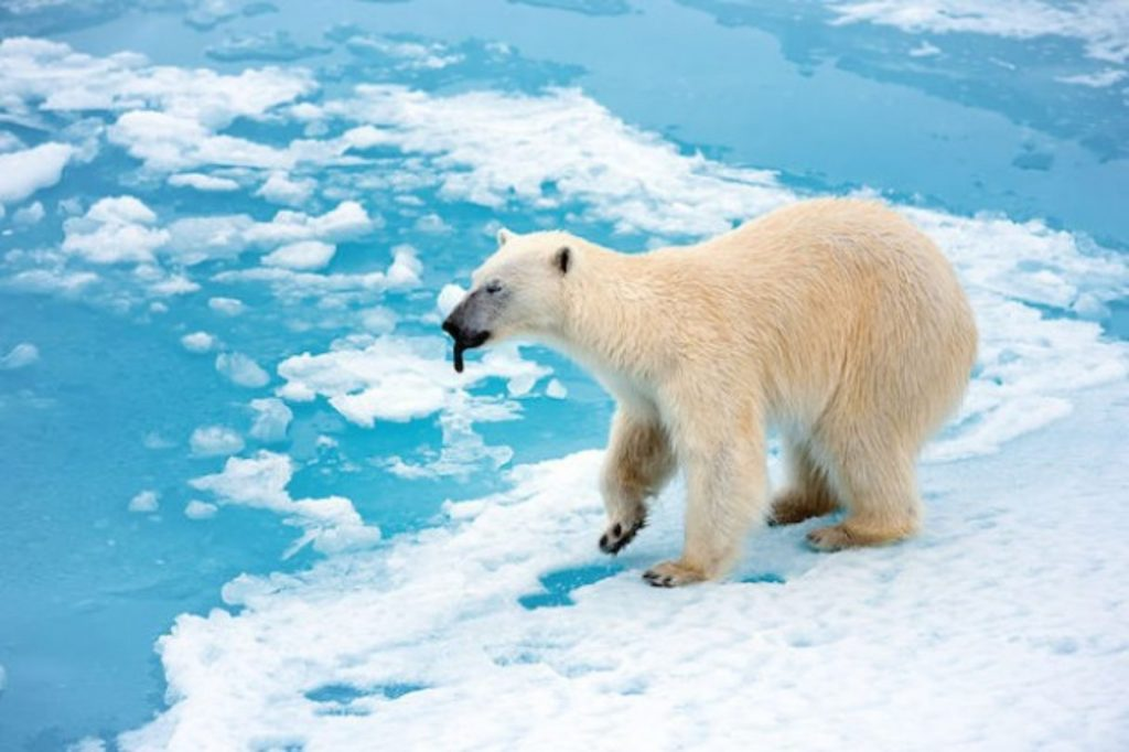 Polar bear with its black tongue showing