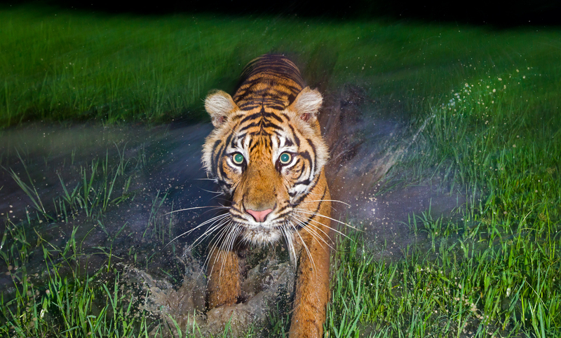 A semi-wild Sumatran Tiger (Panthera Tigris Sumatrae) is seen at the Tambling Wildlife Nature Conservation rescue centre, which is part of the South Bukit Barisan National Park.