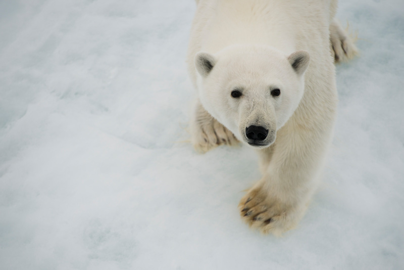 A young polar bear (Ursus maritimus) wanders on ice, seen from the Greenpeace ship during an expedition to document the lowest sea ice level on record.