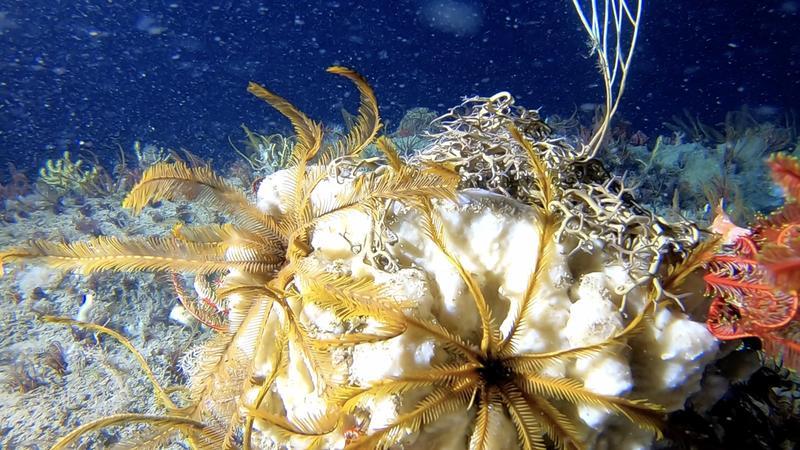 Amazon Reef, greenpeace pole to pole, Greenpeace ships, Global Ocean Sanctuary, corals, dep sea corals