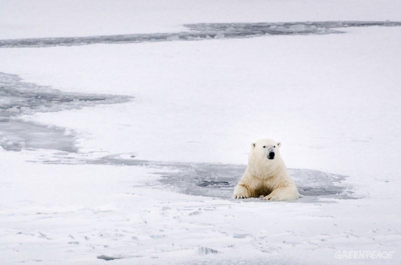 Bilde av isbjørn