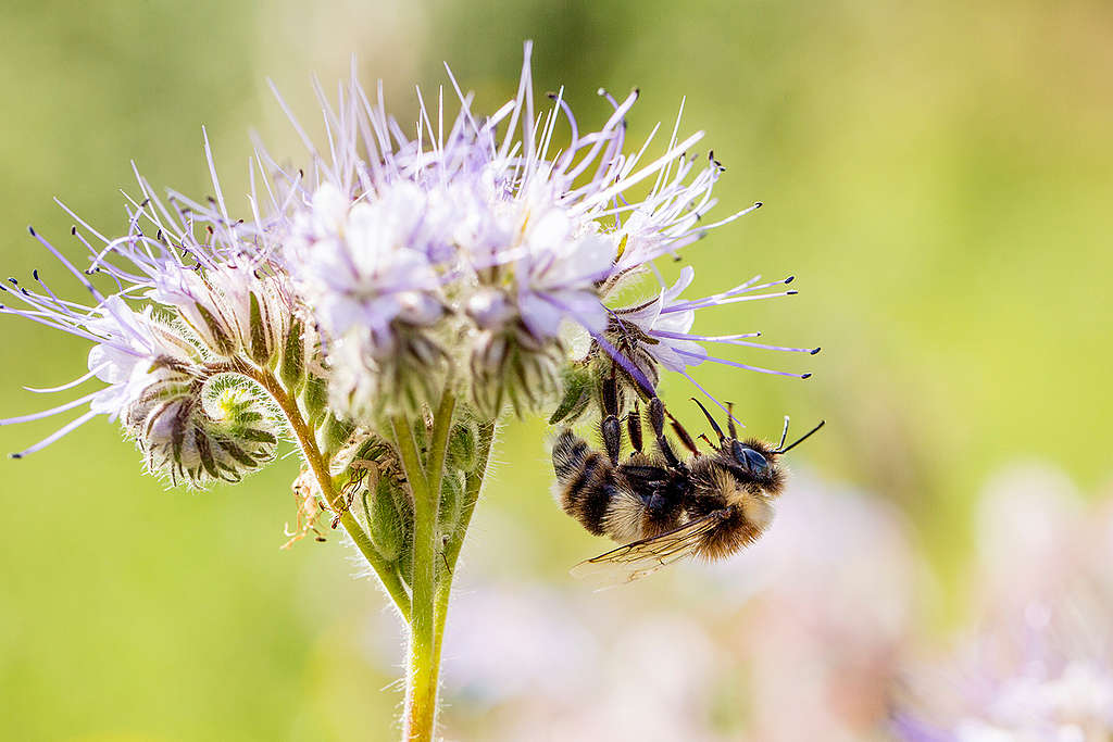 Bumblebee on Phacelia Flowers in Germany. © Axel Kirchhof / Greenpeace