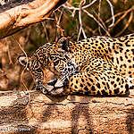 Miljøkrisen i Pantanal rammer dyrene