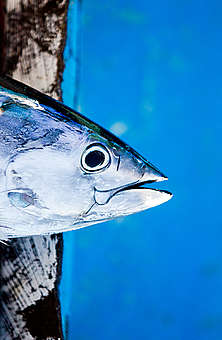 Skipjack Tuna in Indonesia. © Paul Hilton / Greenpeace