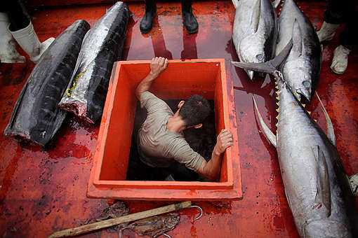 Yellowfin Tuna in Philippines. © John  Javellana / Greenpeace