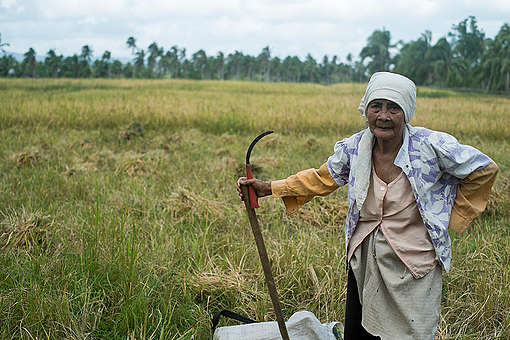 Ecological Rice Harvest in The Philippines. © Roy Lagarde / Greenpeace