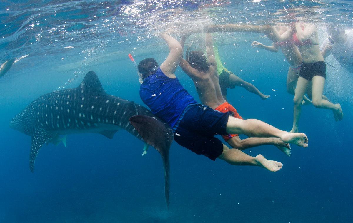 Tourists Swim with Whale Sharks in the Philippines. © Paul Hilton / Greenpeace