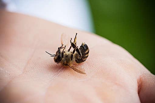Martwa pszczołą