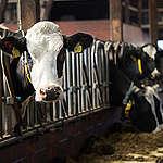 Przemysłowa hodowla krów