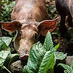 Świnie w gospodarstwie ekologicznym