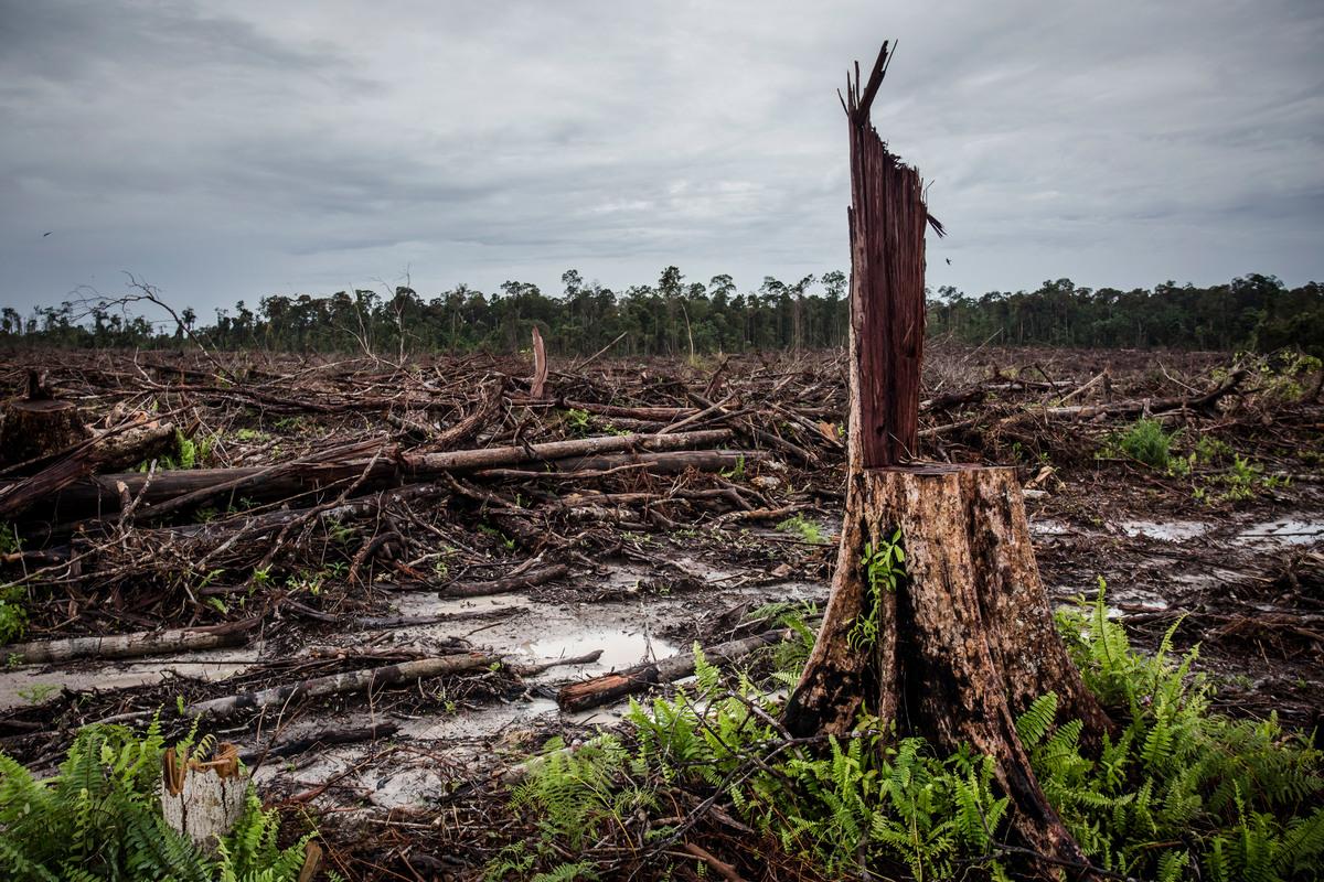 Wycięty pod plantację palmy olejowej las deszczowy na Zachodnim Kalimaanie w Indonezji
