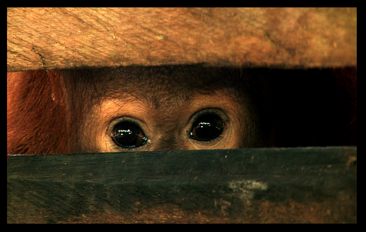 Ośmioletni orangutan - ofiara wycinki lasów deszczowych Borneo