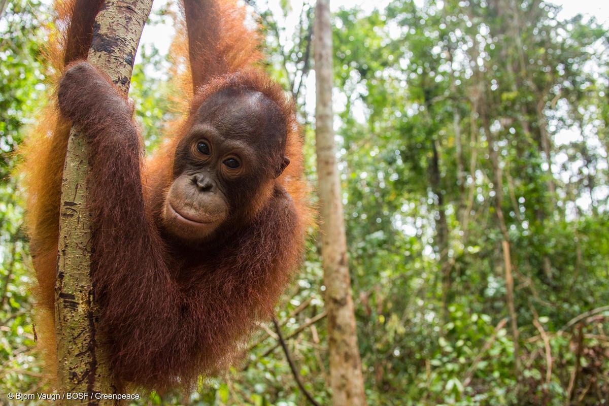 Orangutan z Kalimatanu