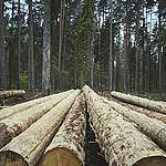 Organizacje pozarządowe biją na alarm: działania planowane przez Lasy Państwowe zaszkodzą Puszczy Białowieskiej
