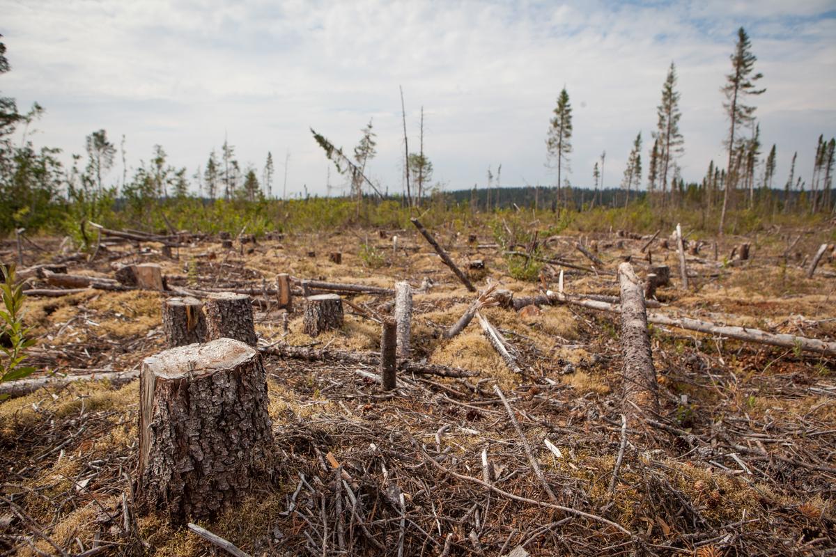 Wycinka lasu w stanie Quebec w Kanadzie