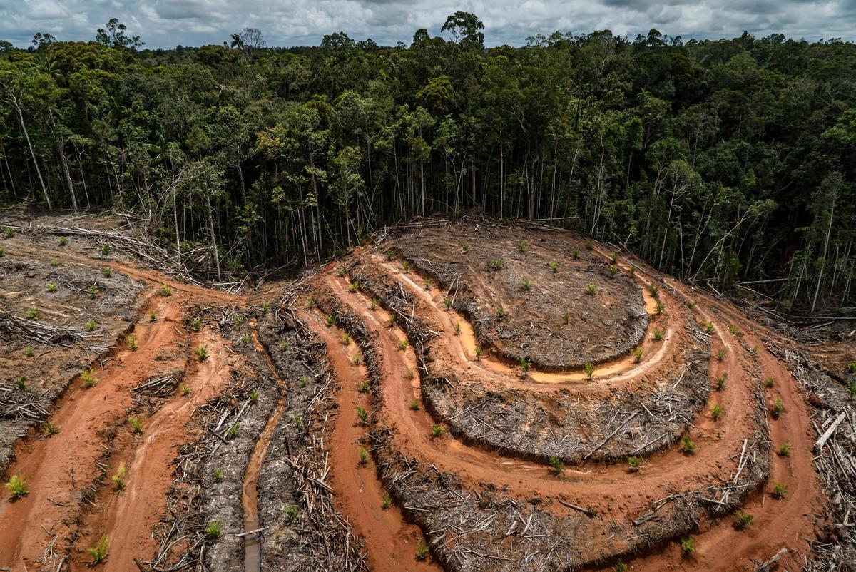 Wycinka lasów Indonezji pod plantację palmy olejowej