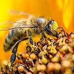 Parlament Europejski staje po stronie pszczół