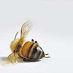 Apokalipsa w świecie owadów zapylających. Potrzebują naszej pomocy