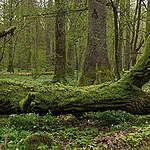 Walka o martwe drewno i polskie lasy