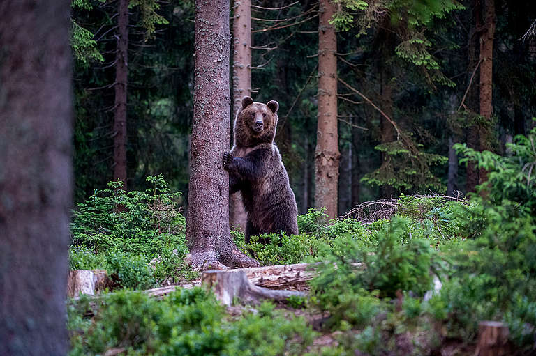 Eurasian Brown Bear in the Carpathians. © Tomáš Hulík / Greenpeace