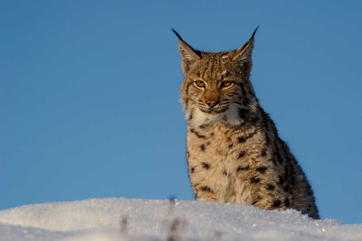 Eurasian Lynx in the Carpathians. © Tomáš Hulík / Greenpeace