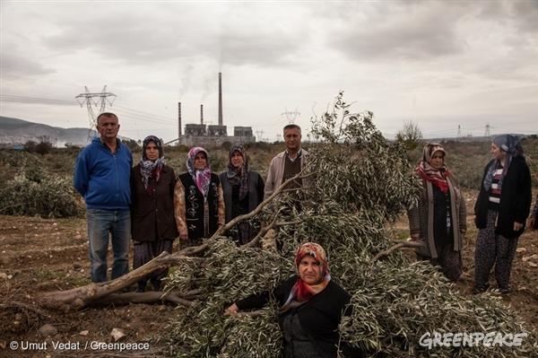 Kolin je nezakonito uničil nasad oljk zaradi razširitve premoga v Turčiji