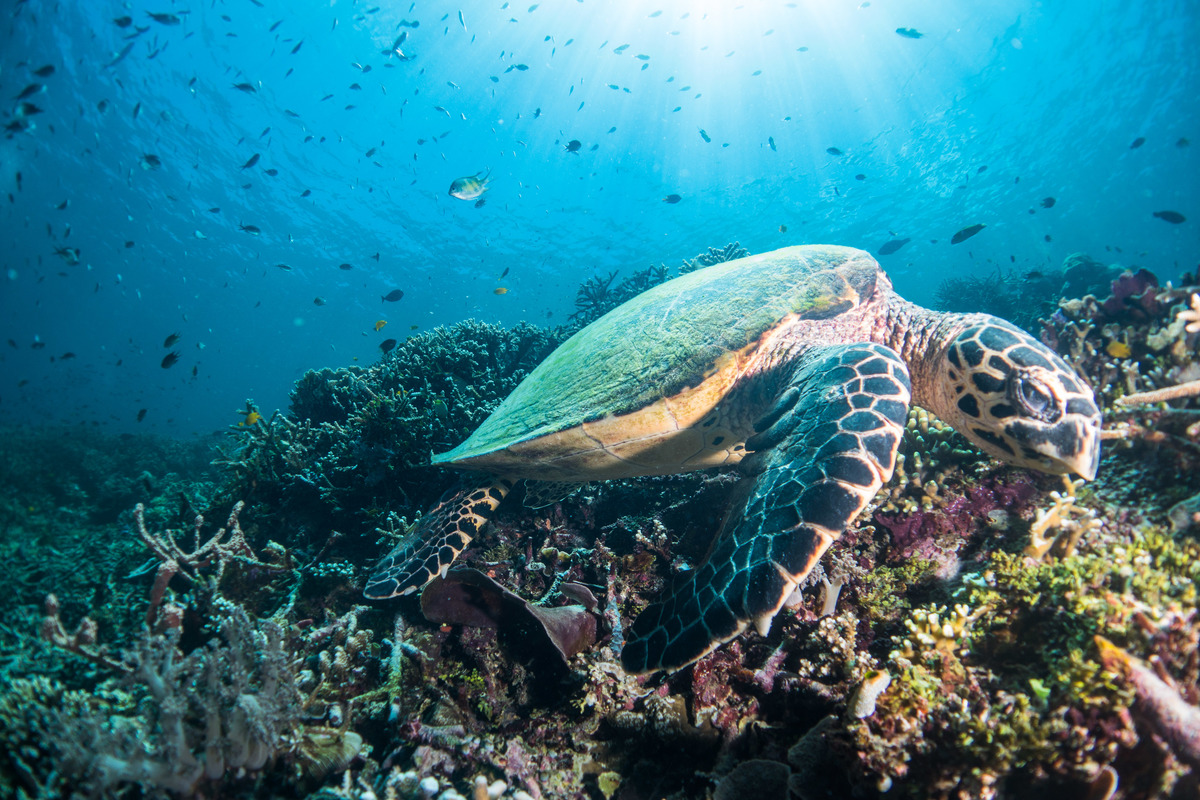 Green Turtle at Raja Ampat in West Papua. © Awaludinnoer / Greenpeace