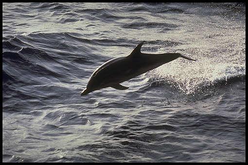 Delfin v Sredozemskem morju. © Greenpeace / Forcada