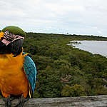 Blue Throated Macao Parrot in Brazil. © Greenpeace / Daniel Beltrá