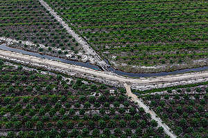 IOI oil palm plantation. © Ulet  Ifansasti / Greenpeace