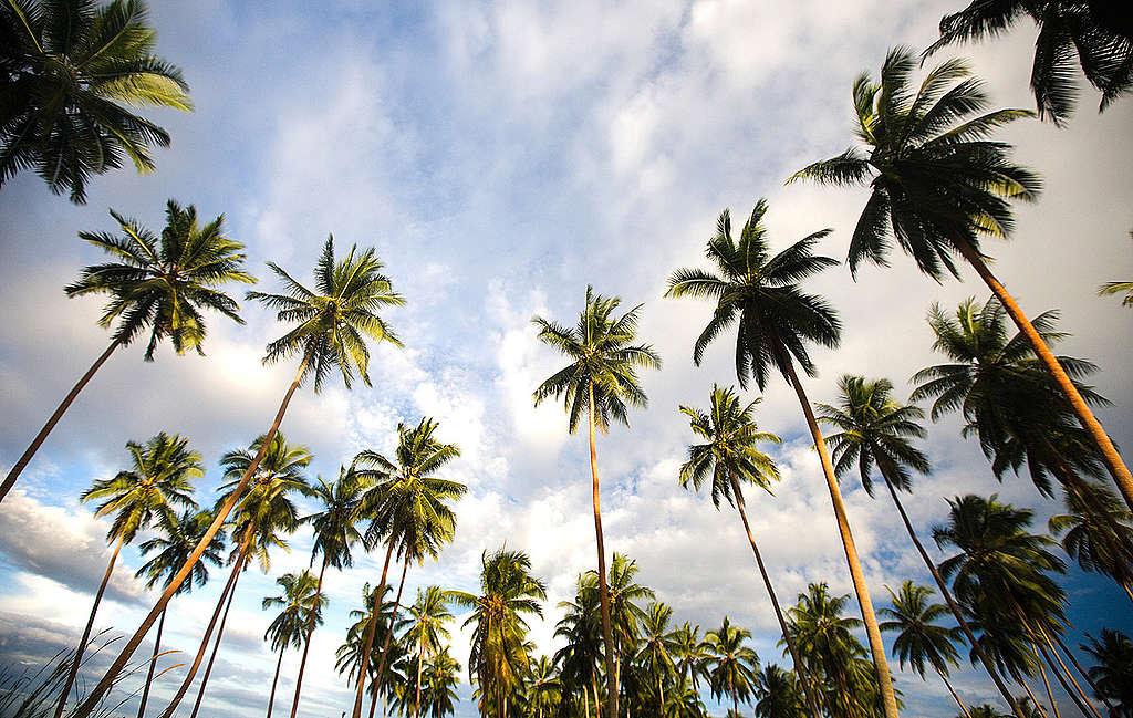 Coconut Palm Trees. © Greenpeace / Paul Hilton