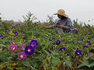 Purple Sweet Potato Organic Farm in China. © Peter Caton / Greenpeace