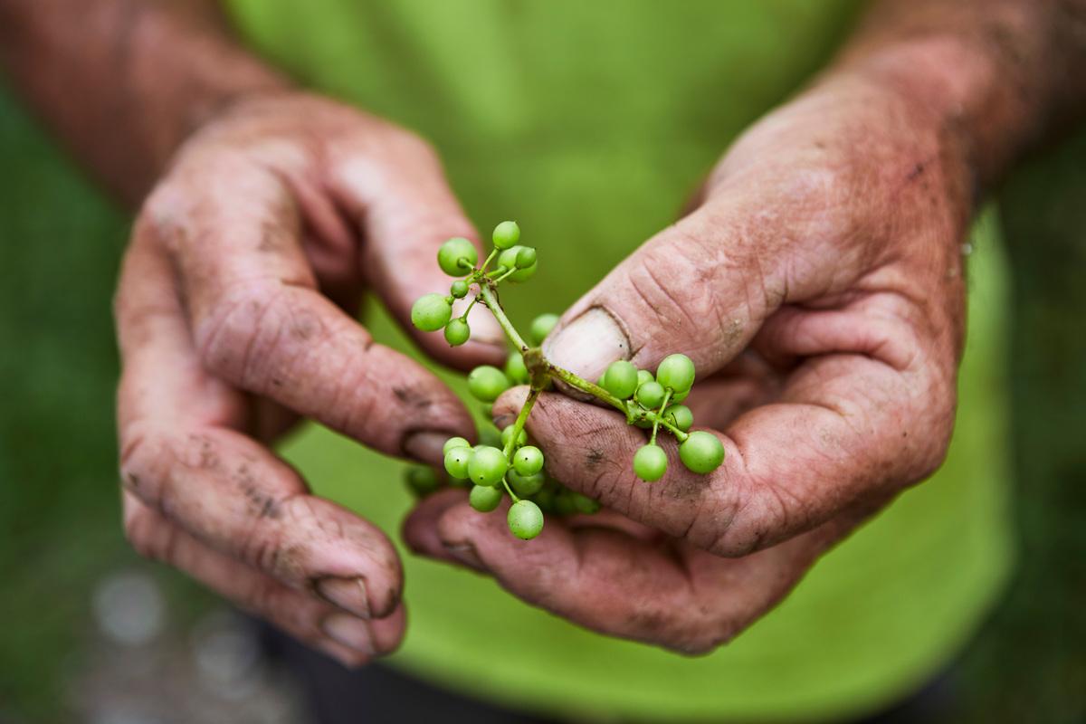 Hand of Farmer on a Vineyard in Switzerland. © Ephraim Bieri / Greenpeace