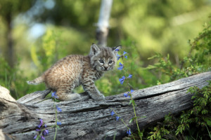 Lynx Kitten in Canadian Boreal Forest