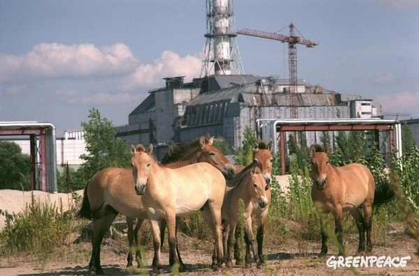 Wild horses in Pripyat.  © Vaclav Vasku / Greenpeace