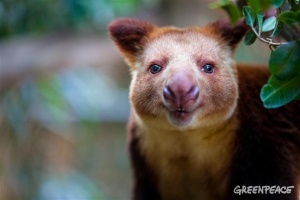 Trädkängurun är bara ett av många märkliga djur som är helt beroende av Indonesiens regnskog.