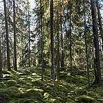 The old growth forests threatened by the Swedish state