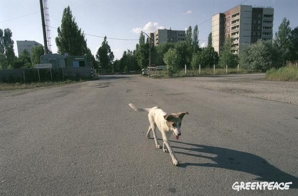 Stray dog in Pripyat.  © Vaclav Vasku / Greenpeace