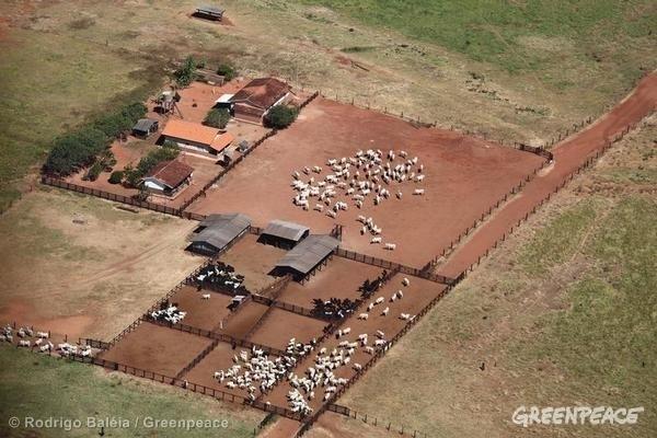 En stor farm med nötkreatur i Brasilien