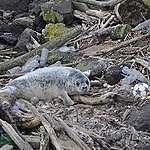 Plast hittad i alla döda valar och sälar längs brittiska kusten