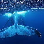 Humpback Whale in Tonga. © Paul Hilton / Greenpeace